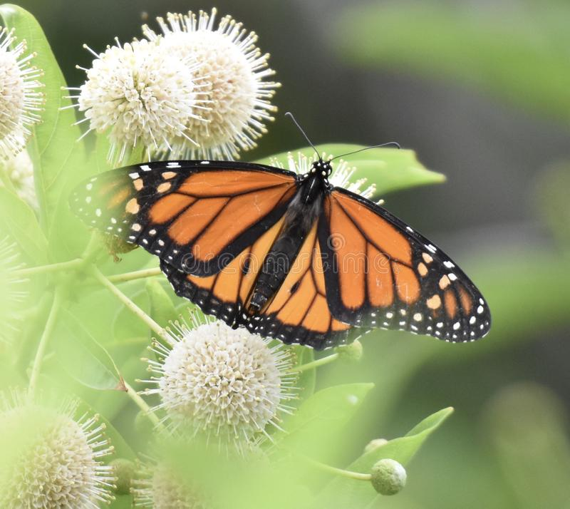 Monarchvlinder in een mooie tuin stock fotografie