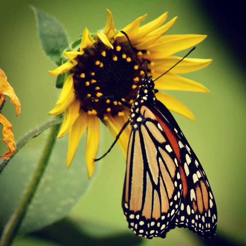 Monarchvlinder in een mooie tuin royalty-vrije stock fotografie