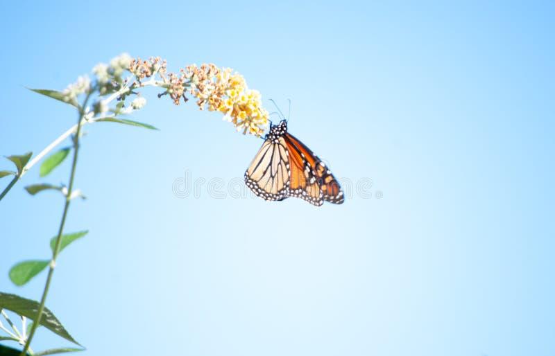 Monarchvlinder het hangen van gele vlinderstruik stock fotografie