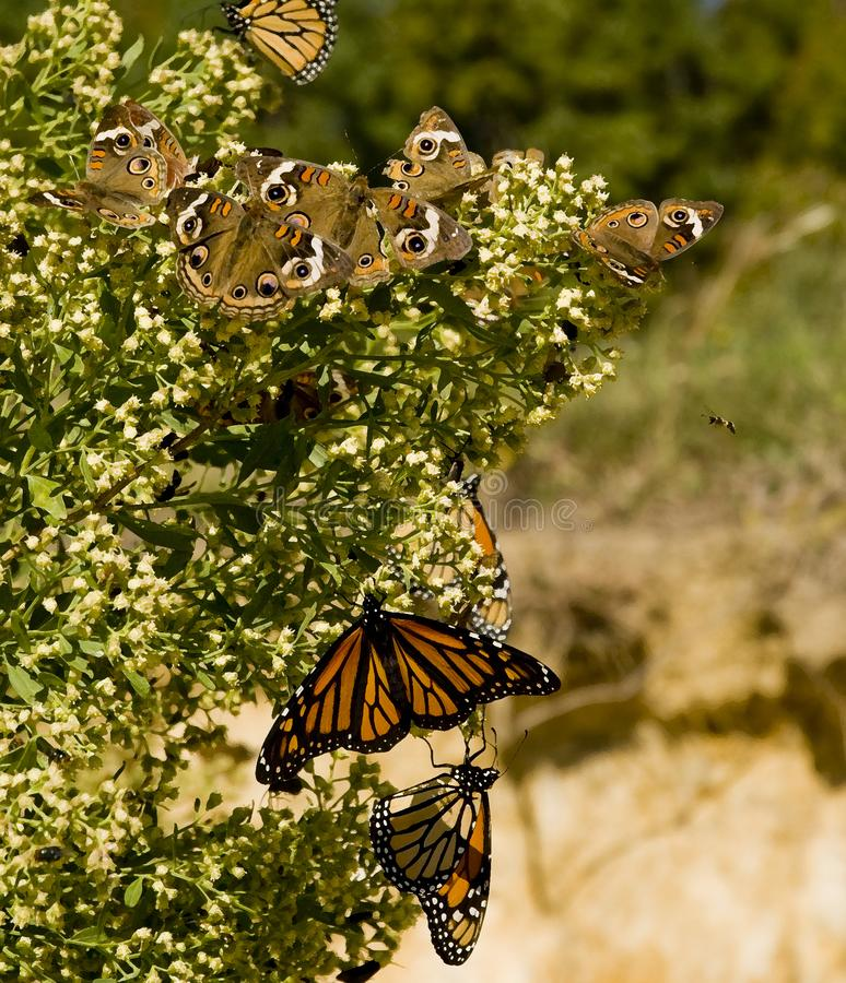 Monarchvlinder het voeden op bloeiende struik royalty-vrije stock foto