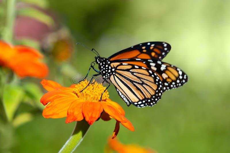 Monarchvlinder het voeden op Mexicaanse zonnebloem stock afbeelding