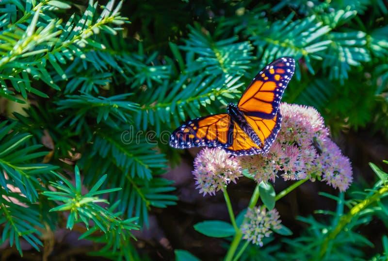 Monarchvlinder met brede open vleugels die op sedum neerstrijken stock afbeeldingen