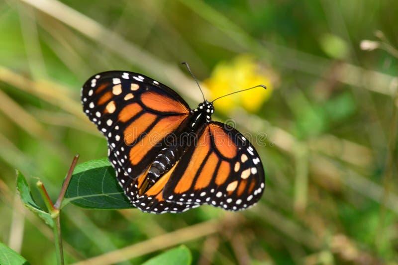 Monarchvlinder op blad wordt neergestreken dat stock foto's