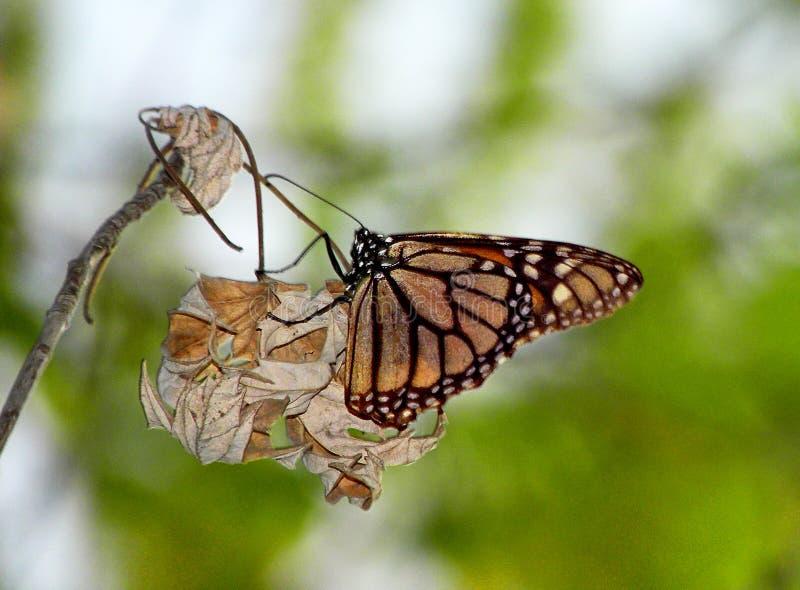 Monarchvlinder op boomtak stock afbeelding