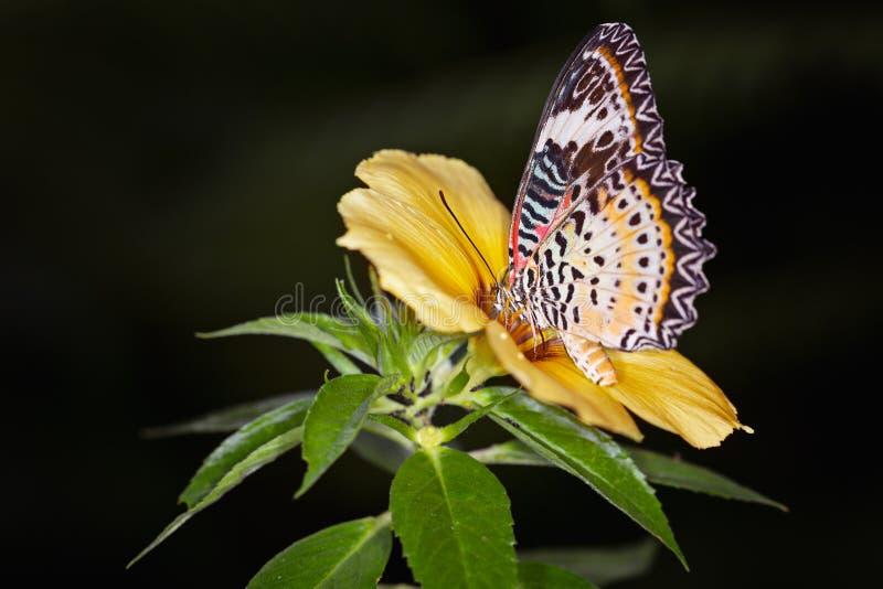 Monarchvlinder op een gele alamandabloem, Danaus-plexippus royalty-vrije stock foto