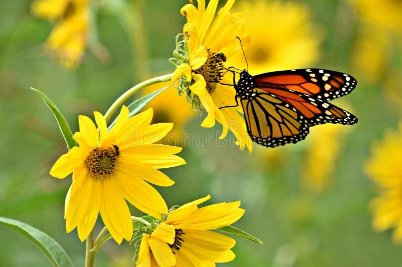 Monarchvlinder op gele bloemen royalty-vrije stock afbeeldingen