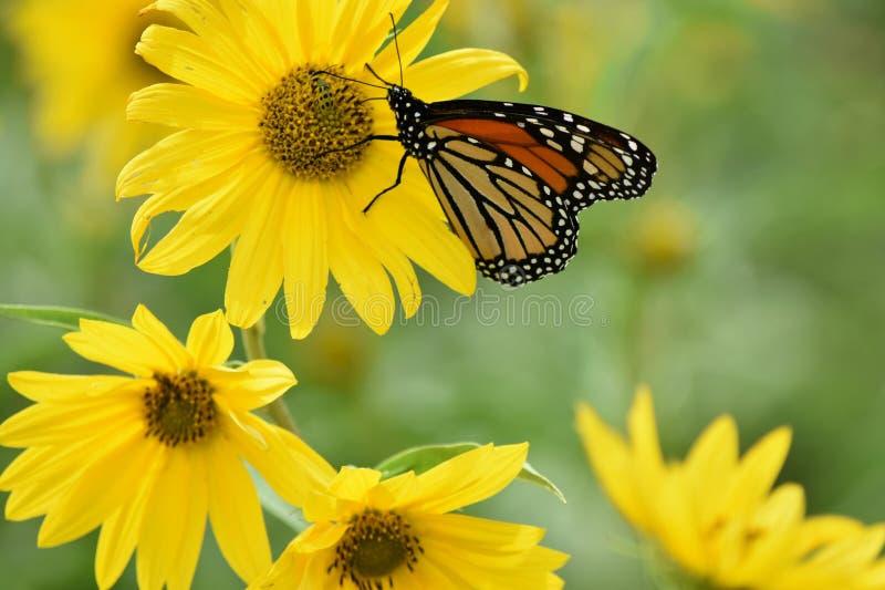 Monarchvlinder op gele bloemen stock afbeeldingen