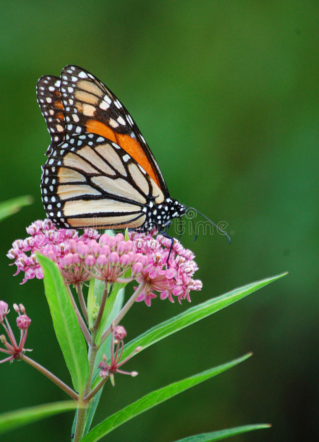 Monarchvlinder op Moeras Milkweed stock afbeelding