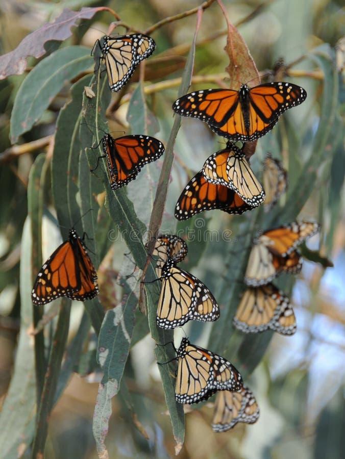 Monarchvlinders stock foto