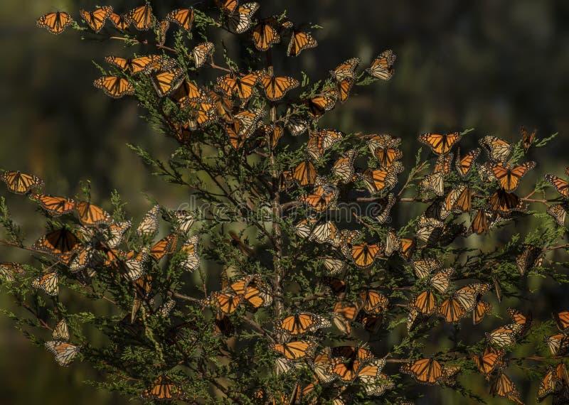 Monarchvlinders royalty-vrije stock afbeeldingen