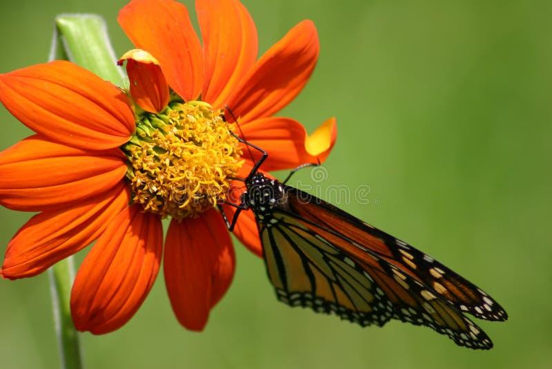 Download Monark arkivfoto. Bild av vingar, natur, kryp, blomma, orange - 981878