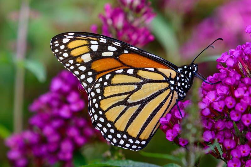 Monark & x28; Danausplexippus& x29; läppja nektar från mycket liten lavendelflo royaltyfri bild