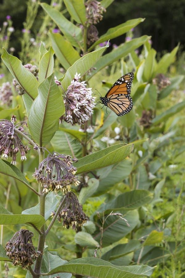 Monark som matar på Milkweedväxten royaltyfri bild