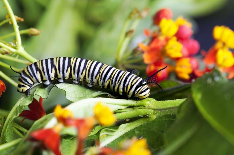 MonarkCaterpillar matande Milkweed royaltyfri fotografi