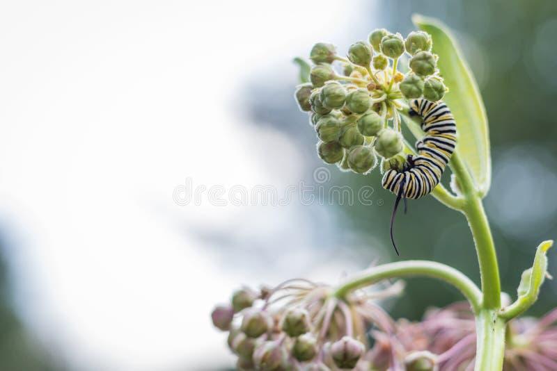 Monarken Caterpillar matar på rosa gemensam milkweed på en sommarmorgon arkivbilder