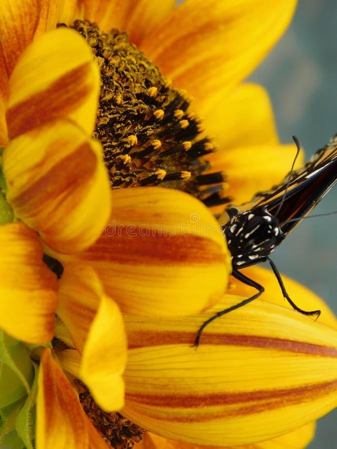 Monarken & solrosen arkivfoto