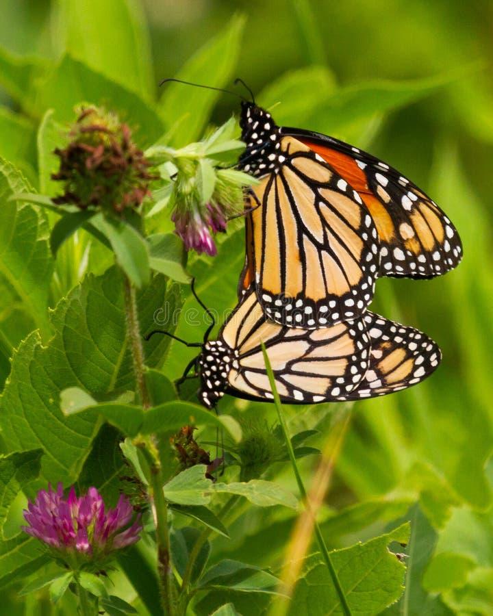 Monarker som parar ihop i ett växt av släktet Trifoliumfält arkivbild