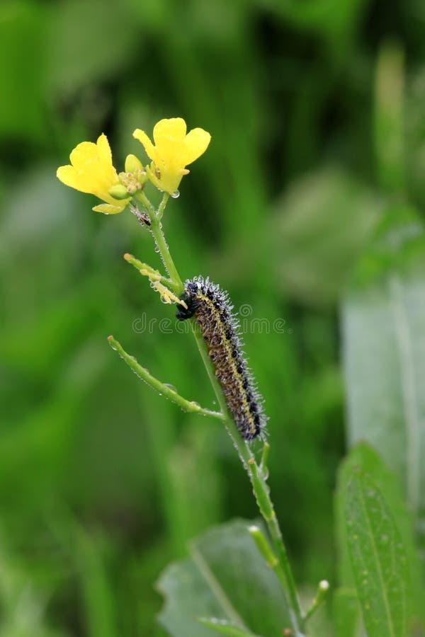 Monarkfjäril Caterpillar royaltyfri fotografi
