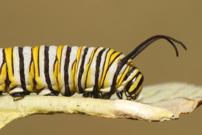 Monarkfjäril Caterpillar & x28; danausplexippus& x29; royaltyfri bild