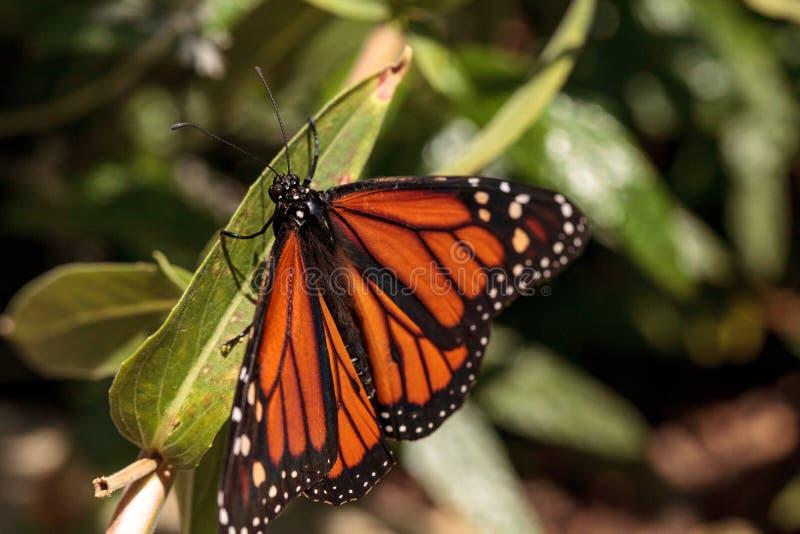Monarkfjäril, Danausplexippus, i en fjärilsträdgård royaltyfri foto