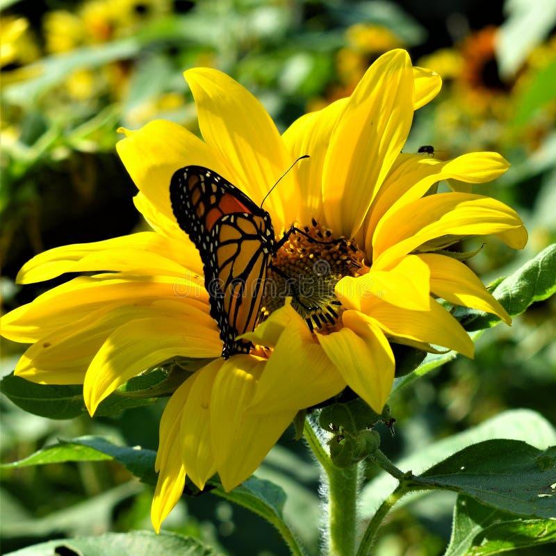 Monarkfjäril i gul solros på nedgångdag i Littleton, Massachusetts, Middlesex County, Förenta staterna New England nedgång arkivbild
