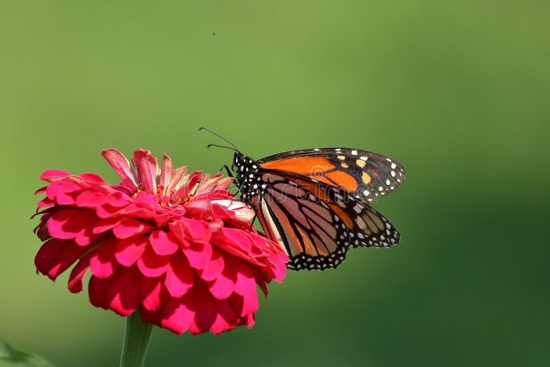 Monarkfjäril i släktklenodZinnias arkivbilder