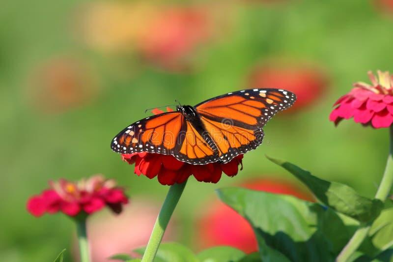 Monarkfjäril i släktklenodZinnias arkivfoto