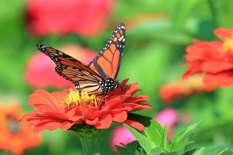 Monarkfjäril i släktklenodZinnias fotografering för bildbyråer