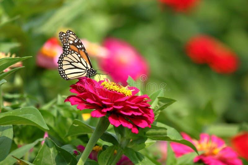 Monarkfjäril i släktklenodZinnias arkivbild
