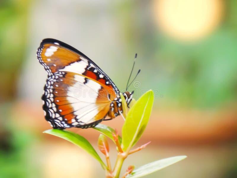Monarkfjäril i trädgården royaltyfri foto