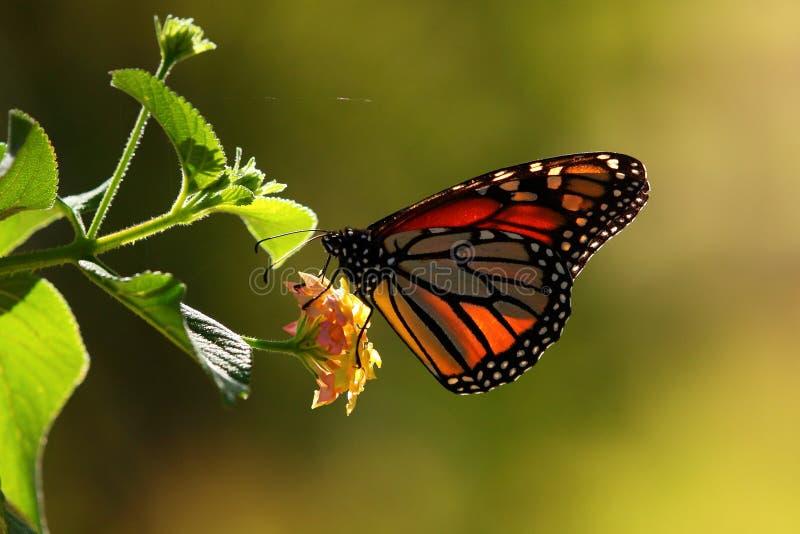 Monarkfjäril på blomman i solljus arkivbild