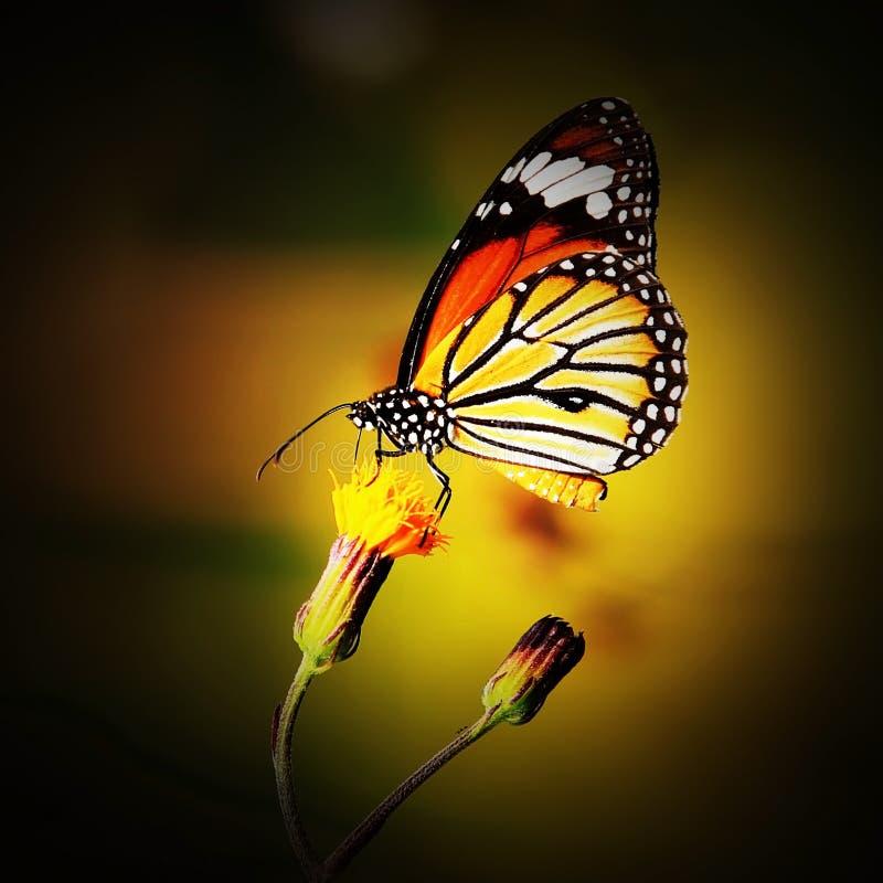 Monarkfjäril på blomman i trädgård fotografering för bildbyråer