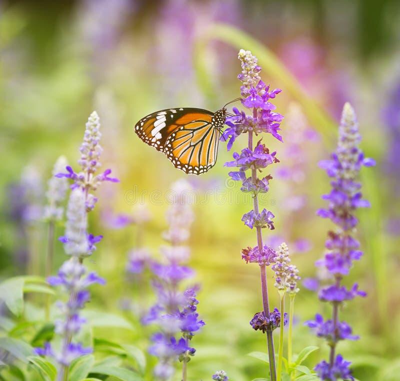 Monarkfjäril på blomman i trädgård på morgon royaltyfria bilder