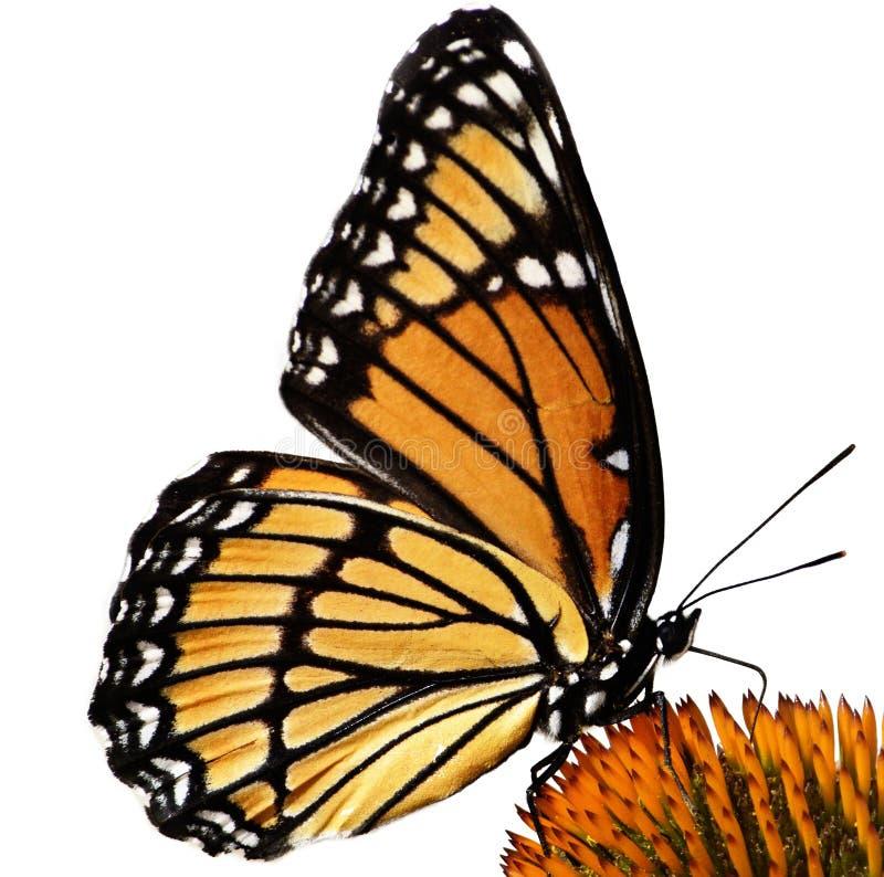 Monarkfjäril på den isolerade blomman fotografering för bildbyråer