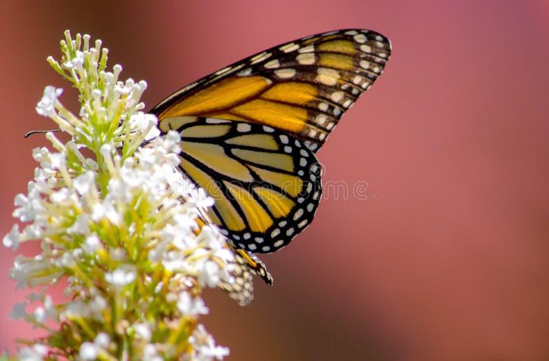 Monarkfjäril på den vita blomman arkivbild