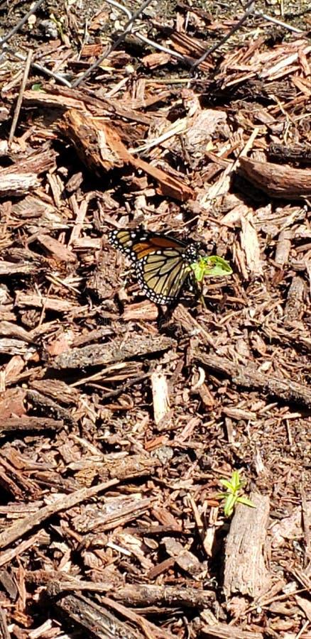 Monarkfjäril på en liten växt fotografering för bildbyråer