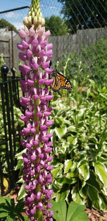 Monarkfjäril på en lupine arkivfoto