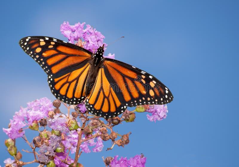 Monarkfjäril på en purpur kräppmyrten arkivfoton