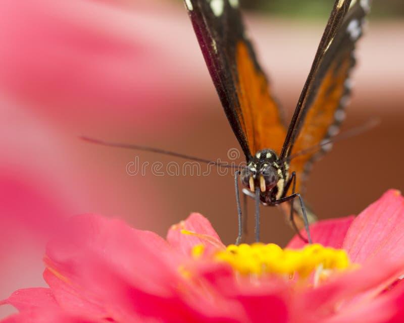 Monarkfjäril på en rosa blomma royaltyfria bilder