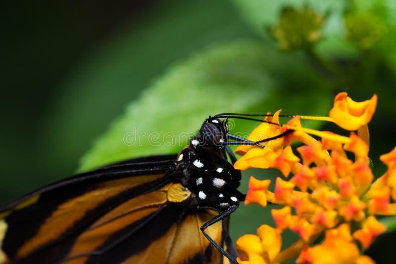 Monarkfjäril på färgrika orange och gula blommor arkivbilder