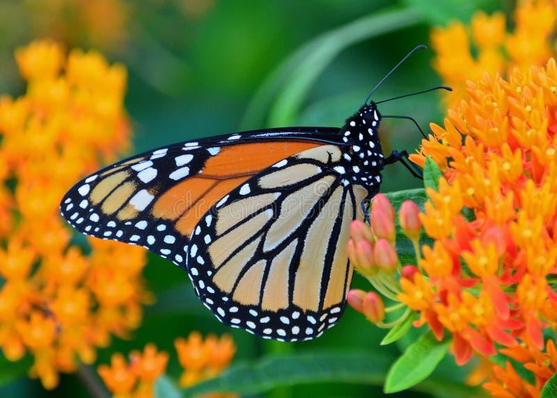 Monarkfjäril på milkweed arkivbild