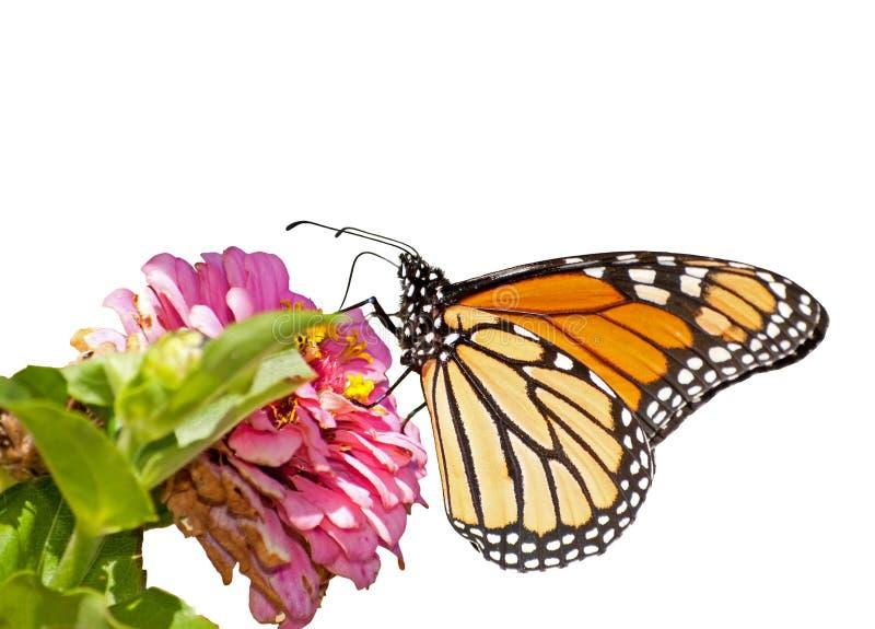 Monarkfjäril på vit arkivbilder