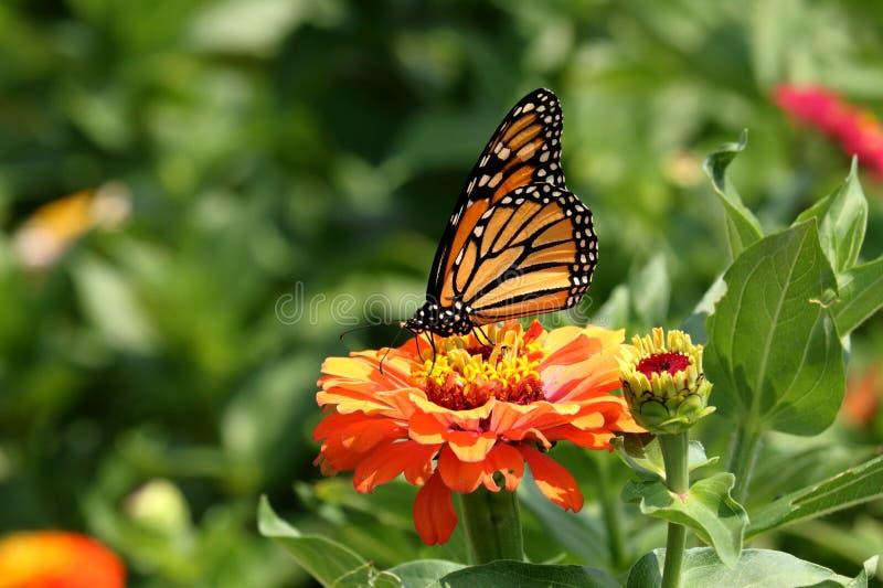 Monarkfjäril på Zinniablomma royaltyfria foton