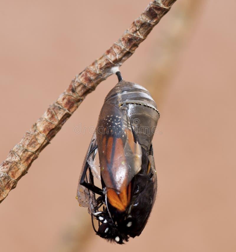 Monarkfjäril som dyker upp från puppa royaltyfria bilder