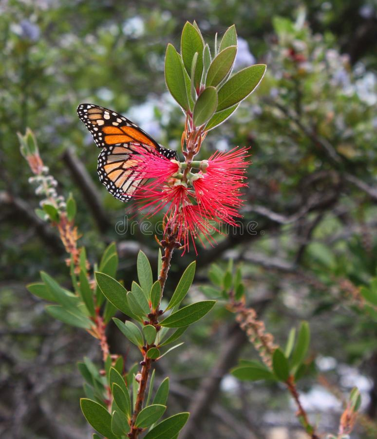 Monarkfjäril som matar på bottlebrushblomman royaltyfria foton