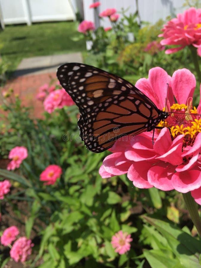 Monarkfjäril som pollinerar blommor royaltyfri bild