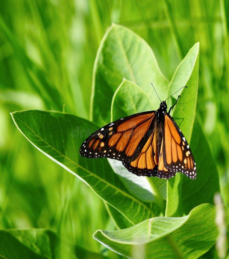 Monarkfjäril: Vingar öppnar arkivfoto