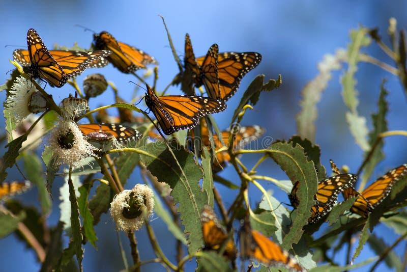 Monarkfjärilar samlade på en trädfilial under hösten royaltyfria bilder
