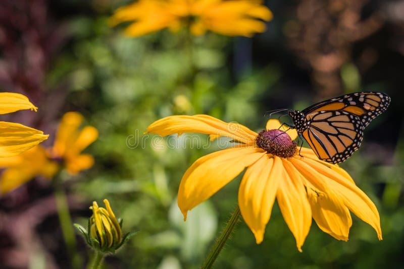 Monarkfjärilen matar på svarta synade Susan på en sommarmorgon arkivbild