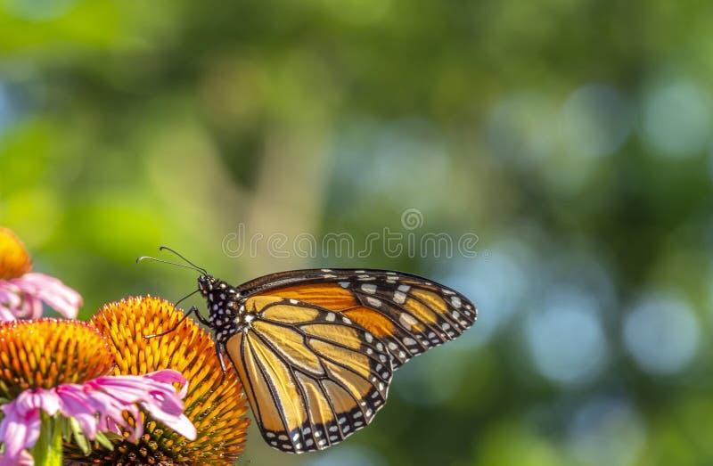 Monarkfj?ril, Danausplexippus royaltyfria foton